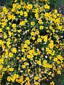 Yellow flowering herbs
