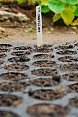 Chard being planted: a label in the seedling tray