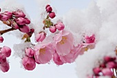 Snow-covered cherry blossom