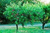Ripe fruit on two magnificent peach trees