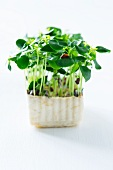 Fresh daikon cress