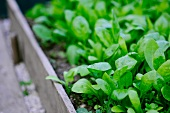 Close up of a lush green bed of basil