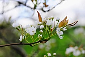 Sharply focused detail of a flowering cherry tree branch