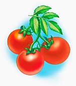 Tomatoes on the vine (illustration)