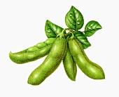 Edamame beans - unripe soya beans (illustration)