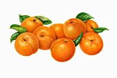 Apricots with leaves (illustration)