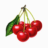 A bunch of cherries with a leaf (illustration)