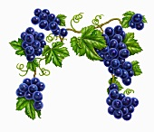 Bunches of purple grapes on a vine with leaves (illustration)