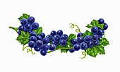 Purple grapes and leaves on a vine (illustration)