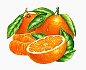 Whole and halved mandarins with leaves and mandarin segments (illustration)