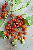 Currant tomatoes (Lycopersicon pimpinellifolium) with leaves