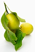 Three lemons on a twig with leaves
