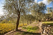 A grove of olive trees adjoining a vineyard in late summer