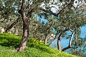 An idyllic grove of olive trees with a view over the sea