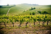 A vineyard in the Langhe (Piedmont, Italy)