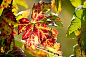 Autumnal vine leaves in the sunshine