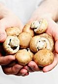 Hands holding chestnut mushrooms