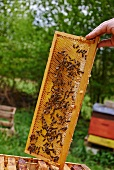 Bees on the honeycomb in a frame