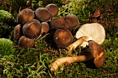 Tricholoma mushrooms