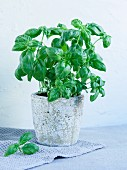 A basil plant in a Mediterranean pot