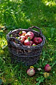 Red apples in a basket in a field