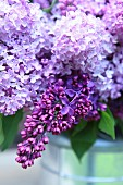 Purple lilac flower (close-up)