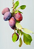 Plums on the branch