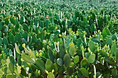 Prickly pears on the plant