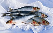 Five fresh sardines on paper