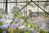 Worker inspecting borage in greenhouse