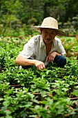A Chinese gardener crouching between rows of plants
