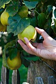 A hand picking quinces from the tree