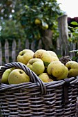 Harvested quinces in a basket