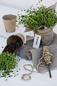 Pots of thyme