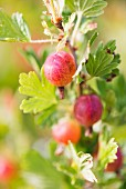 Gooseberries (Ribes uva-crispa) growing in garden