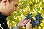 Man checking looking at bunches of ripe black grapes in vineyard.