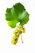 Solaris grapes with a vine leaf