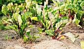 Beetroot plants (Beta vulgaris) growing in a garden
