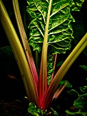 Rhubarb plant in soil
