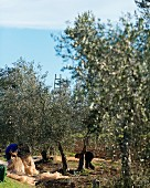 Olive harvest; a worker spreading a net beneath trees (Maremma Natural Park Albarese)