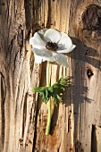 A white anemone on a piece of bark