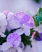 Drops of dew on pale lilac viola flowers