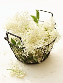 Fresh elderflowers in a wire basket