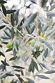 An olive tree (close-up)
