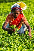 A tea picker with a handful of tea leaves
