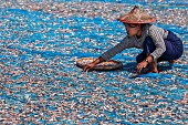 Fish being laid out to dry on the beach at Ngapali (Myanmar)