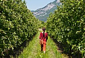 A woman, seen from behind, walking through a pear orchard in Arco, Trentino, Italy
