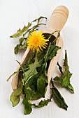 Whole, dried dandelion leaves in a wooden scoop for making dandelion tea