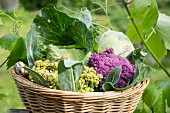 Various different types of cabbages in a basket in a garden