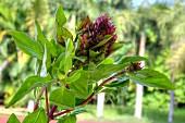 Fresh Thai basil in a garden